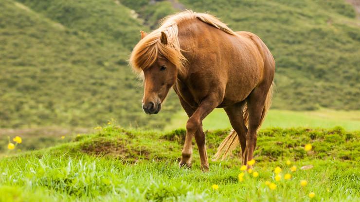 Island koně oči